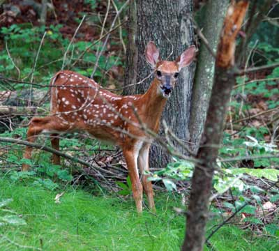 Baby Deer in Burlington Landlocked Forest