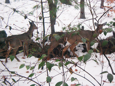 Deer in the Burlington Landlocked Forest