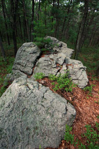 Rocks with a Pine Tree in the Burlington Landlocked Forest