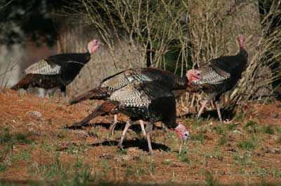 Turkeys in Burlington Landlocked Forest